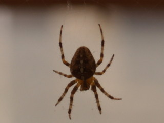 Araneus diadematus Garden Cross Spider