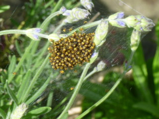 Garden Cross Spider Aranea diadematus spiderlings on lavender