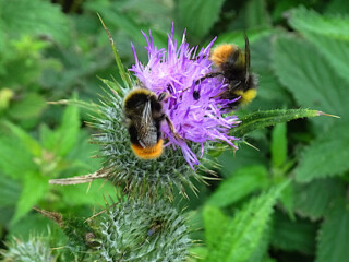 Bombus lapidarius (Red-tailed bumblebee) male bees sharing