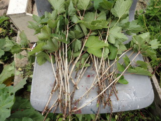 red/black currant plants from cuttings